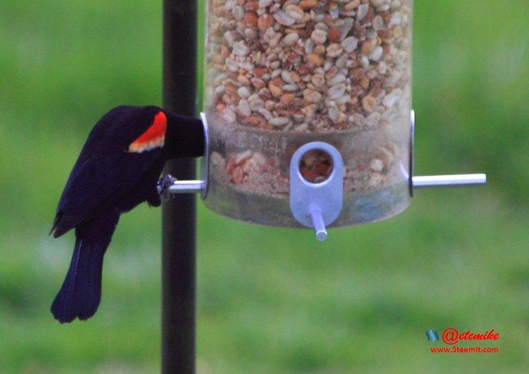 Red-winged Blackbird PFW21-0095.JPG