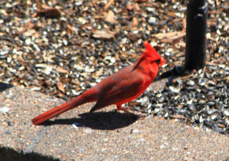Northern Cardinal PFW20-0046.JPG