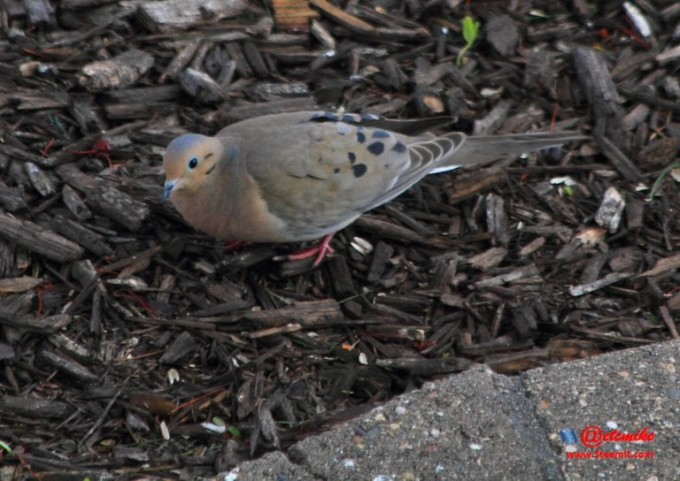 Mourning Dove PFW21-0068.JPG