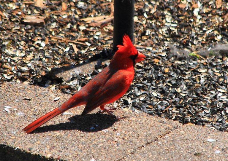 Northern Cardinal PFW20-0051.JPG
