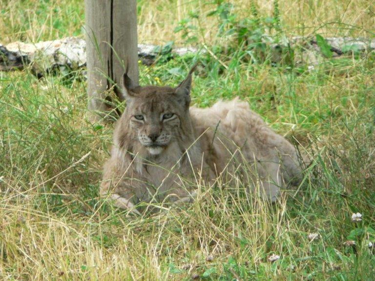 Lynx bobcat Rosendahl public.jpg