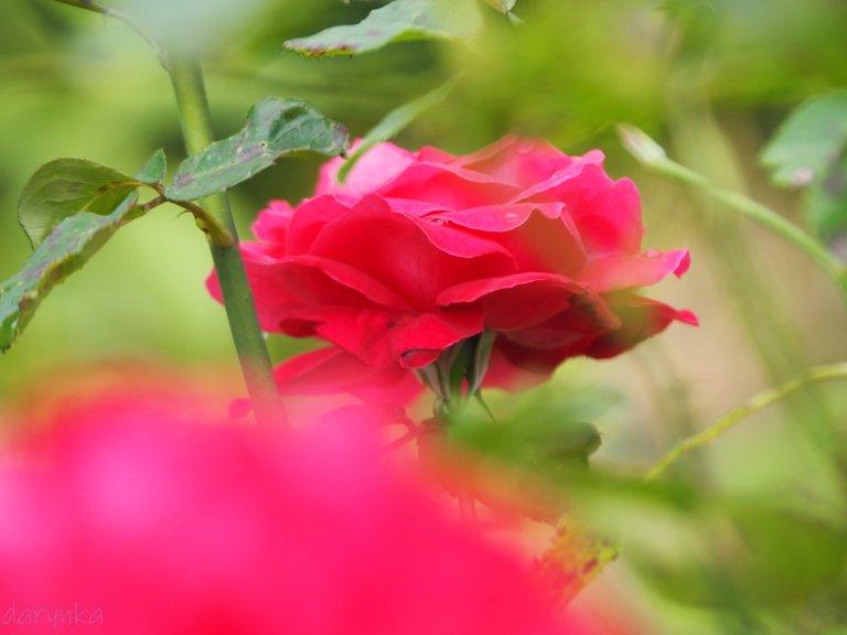 троянда 3.jpg