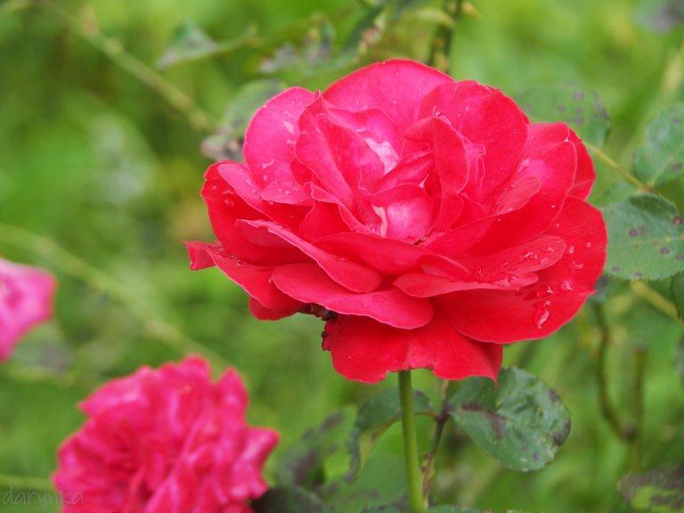 троянда 4.jpg