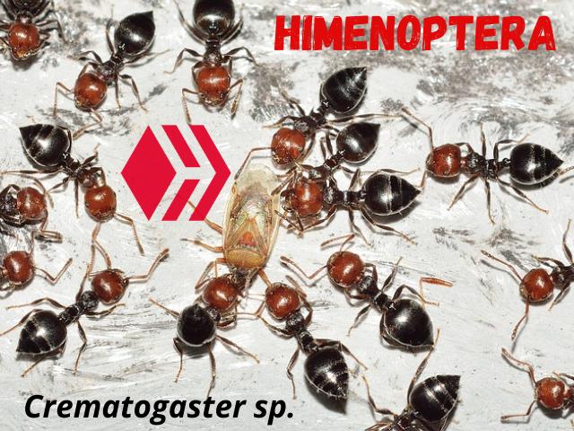 Himenoptera 1.png