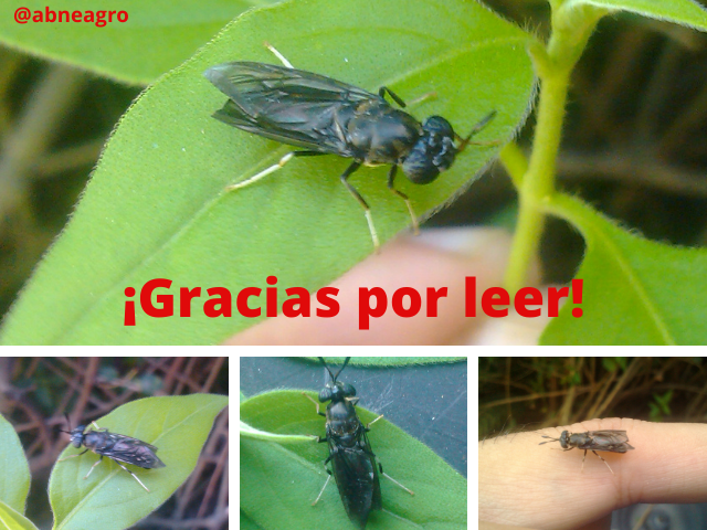 Diptera final.png