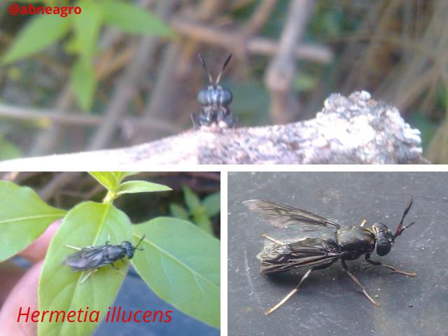 Diptera f 3.png
