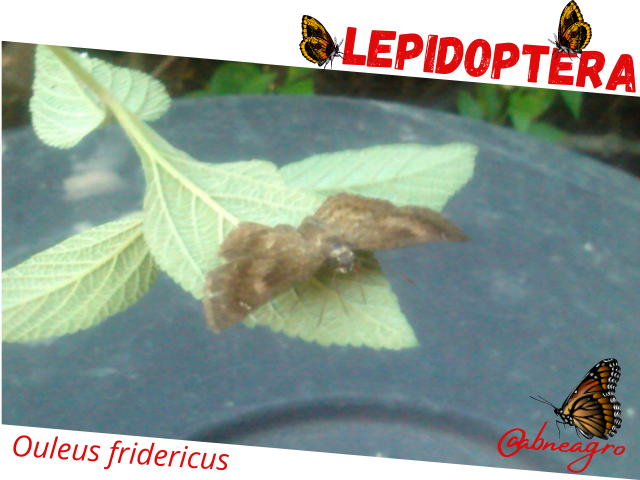 Lepidoptera 1.png