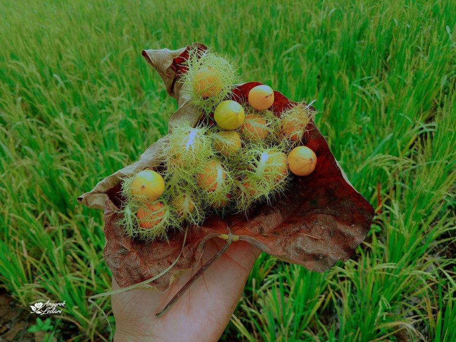 Ripe Bush Passion Fruit