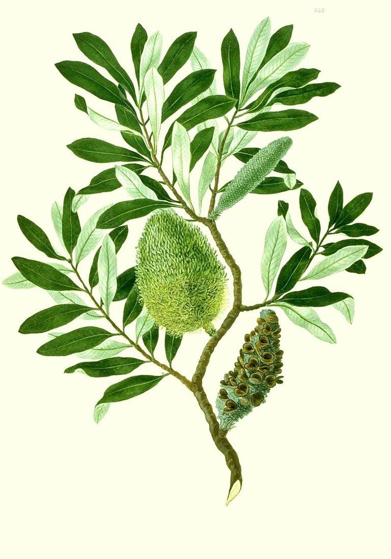 800px-Banksia_integrifolia_watercolour_from_Banks'_Florilegium.jpg