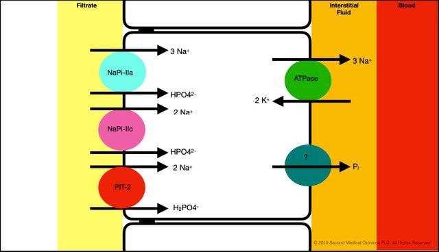 Picture Steemit Tubular Cell Phosphate Transport 1.jpg