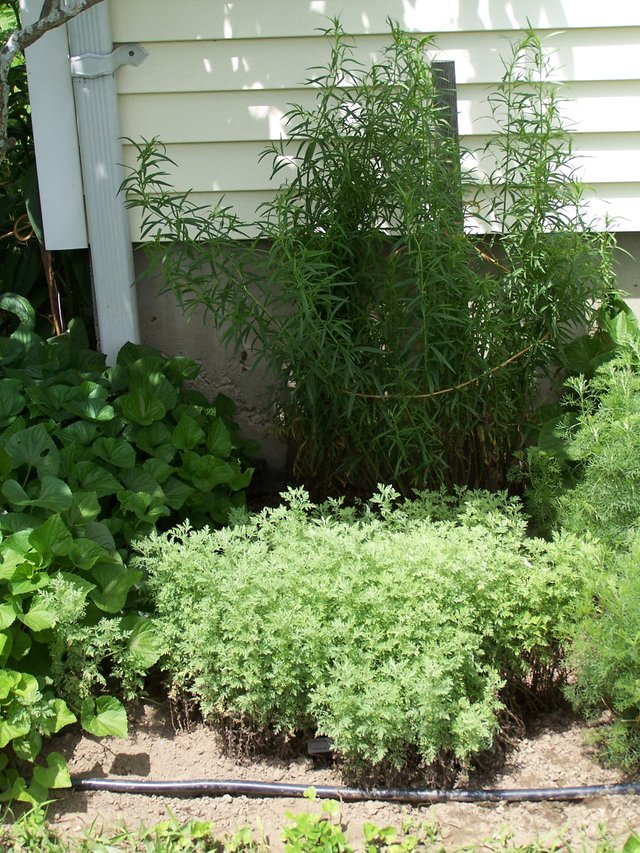 South Herb Garden  Russian tarragon, southernwood, wormwood June 2006.jpg