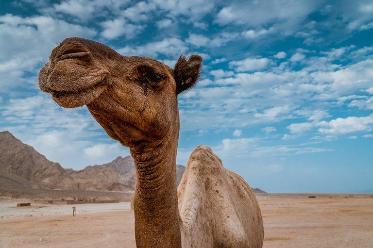 camel-4306242_960_720.jpg