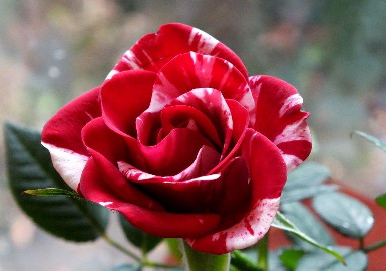 CT0255-ValentinesRose.jpg