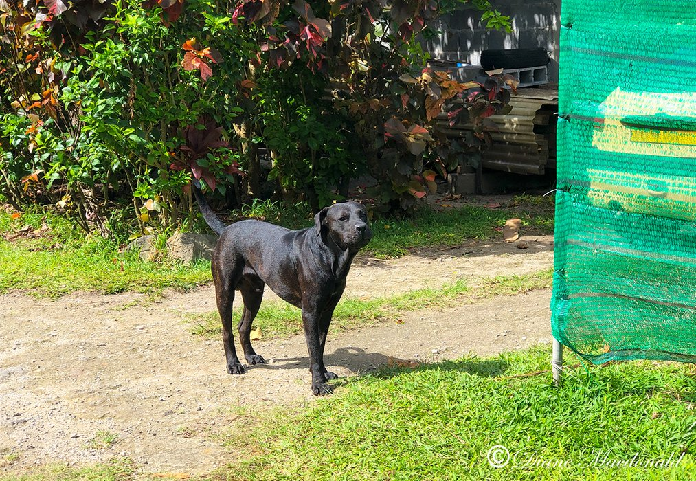 black dog huahine.jpg