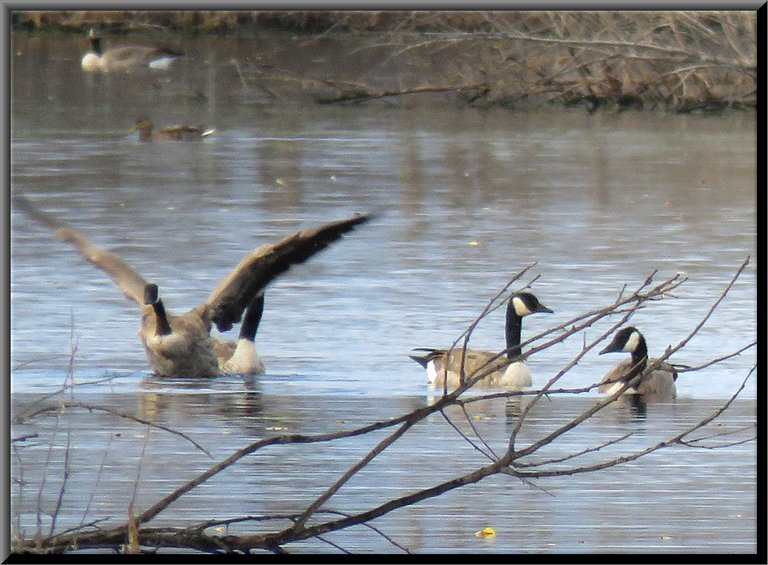 3 Canada Geese 1 wings stretched out.JPG