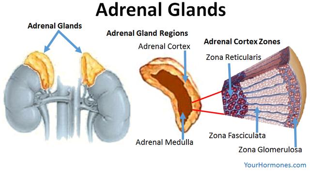 adrenalglandsadrenalglandzones.png
