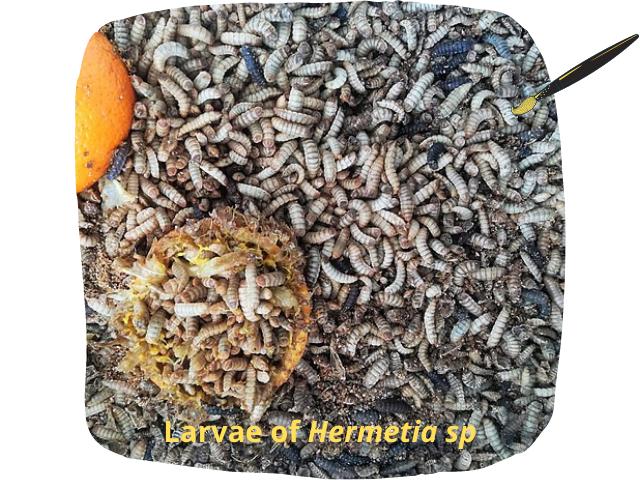 Diptera larvas english.png