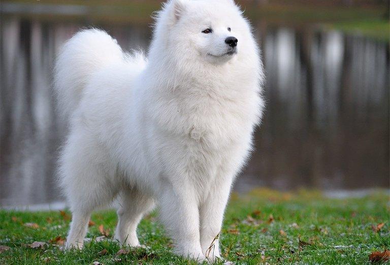 majestic-samoyed-dog-photo.jpg