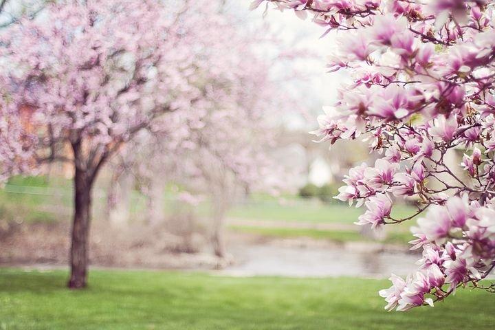 magnolia-trees-556718__480.jpg