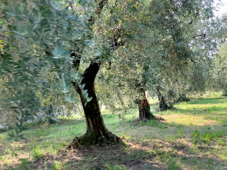The olive trees are everywhere, and i bought some oils to take home during the entire stay in italy. Also balsamic glasses, for desserts and cooking