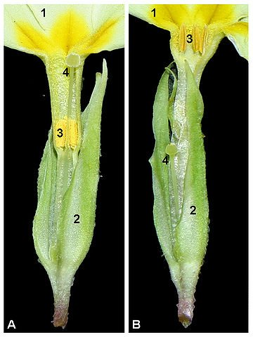 Dissection of pin (A) and thrum (B) flowers: 1. Corolla (petals) 2. Calyx (sepals) 3. Stamen 4. Pistil