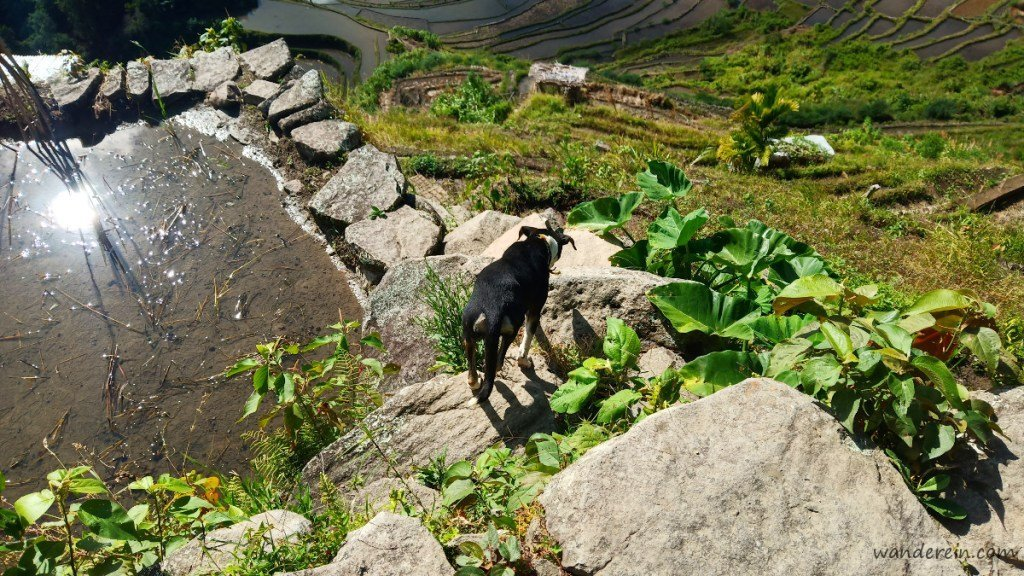 Blackie leads the way down the stone wall