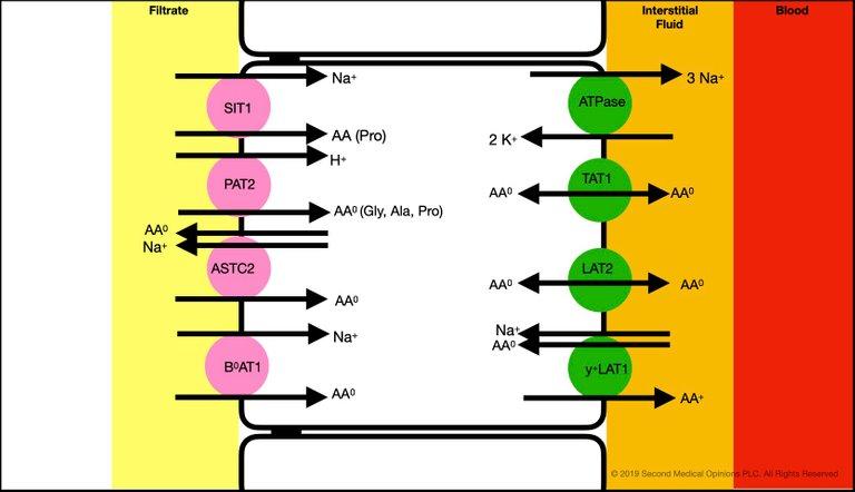 Picture Steemit Tubular Cell Neutral Aminoacids Transport 1.jpg