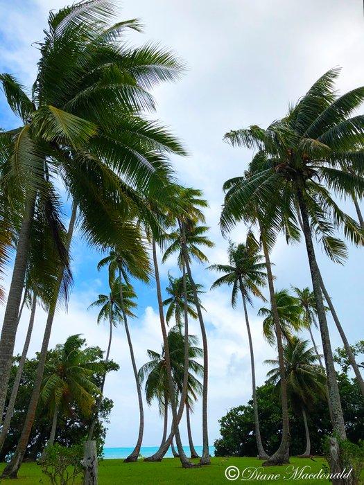coconut grove beside marae.jpg