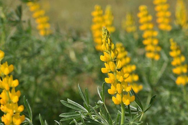 Yellow lupines albufeira 1.jpg