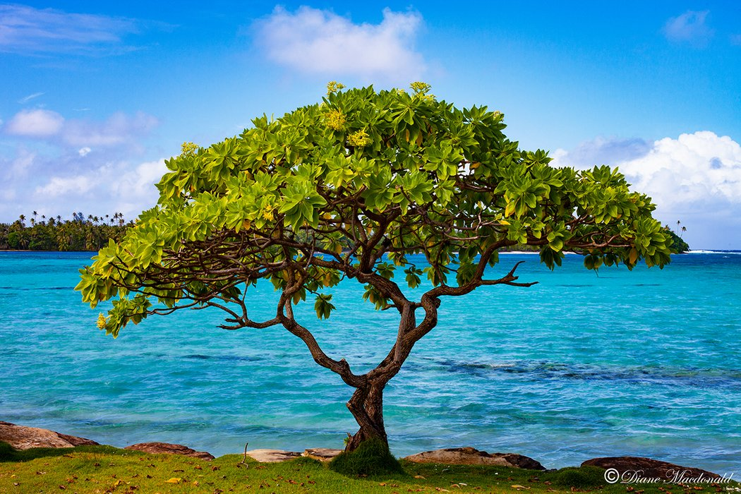 spreading tree marae anini.jpg