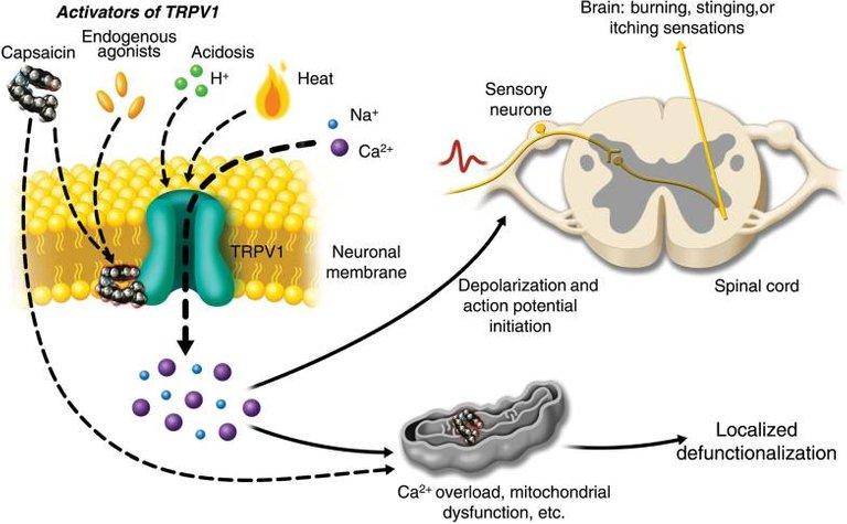 Activation_of_TRPV1_by_capsaicin.jpg
