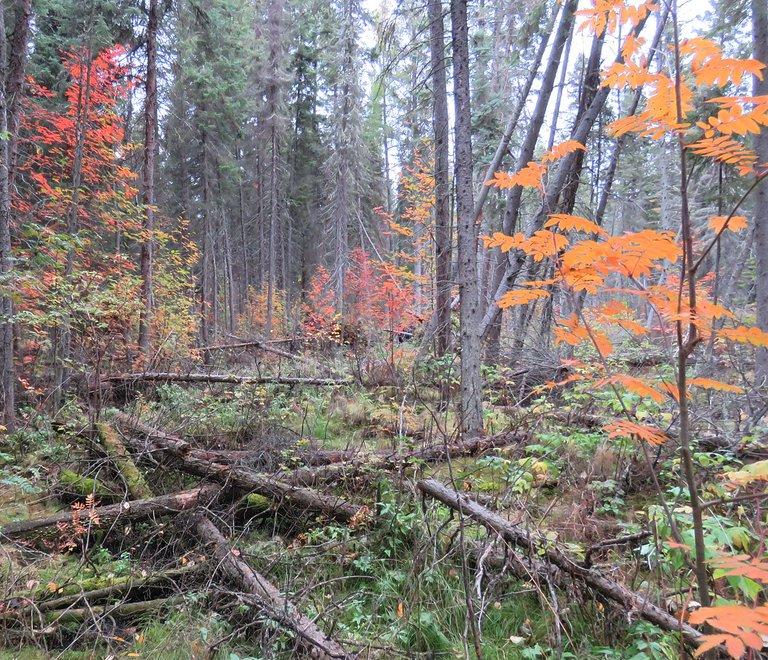 fall colored young mountain ash by fallen logs.JPG