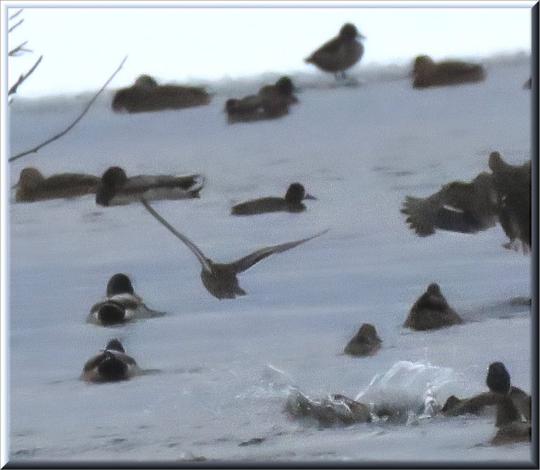 duck taking flight others swimming in icy pond.JPG