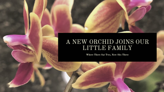 A NEW ORCHID JOINS OUR LITTLE FAMILY.png