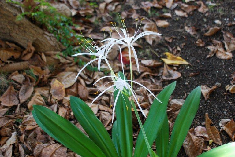 Spider Lily (Hymenocallis littoralis)