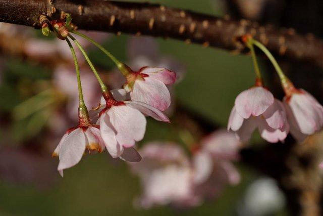 IMG_9028 Cherry Blossoms.JPG
