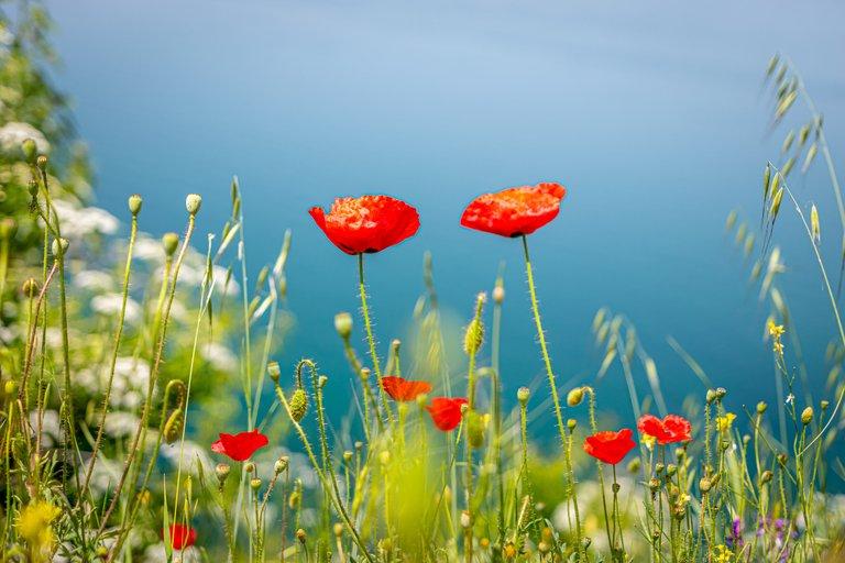 Poppy Flowers at Lake Ohrid