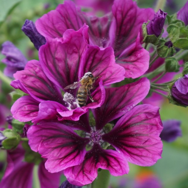 009_Bee_collects_pollen_from_mallow_flowers.jpg