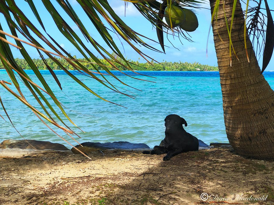 black dog by lagoon parea huahine.jpg