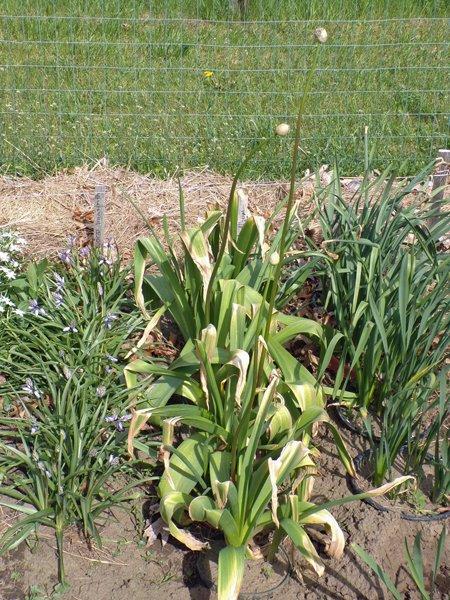 Big garden  NE corner Giant allium crop May 2020.jpg