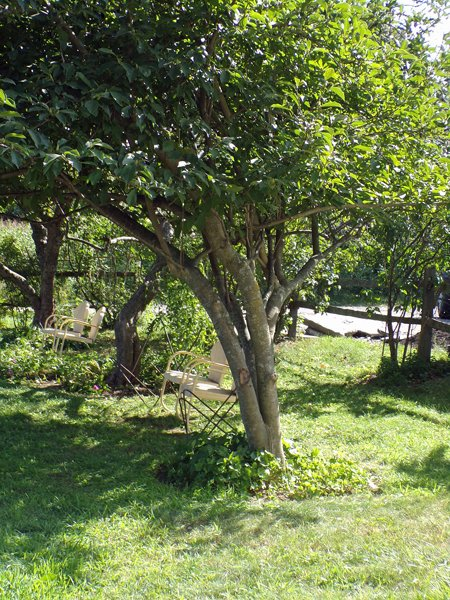 Magnolia  cleaned out and pruned crop August 2020.jpg