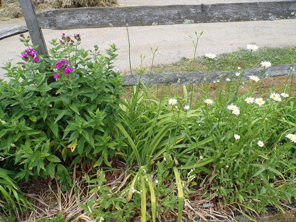 4th Fence  phlox, daylilies, daisies crop June 2020.jpg