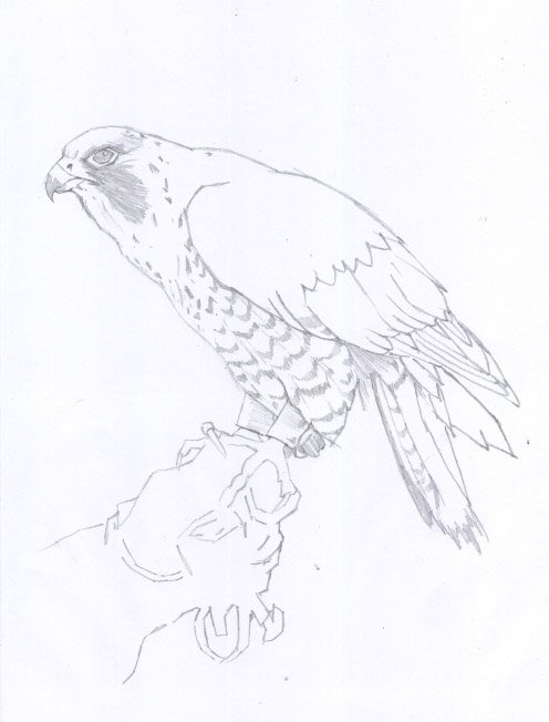 halconperegrino02.jpg