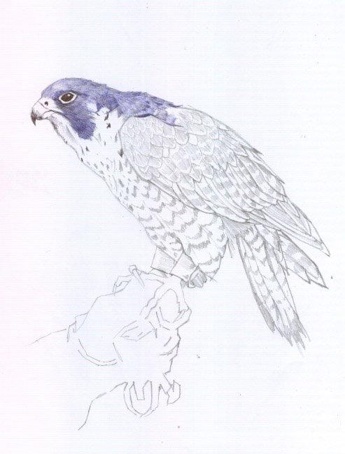 halconperegrino05.jpg