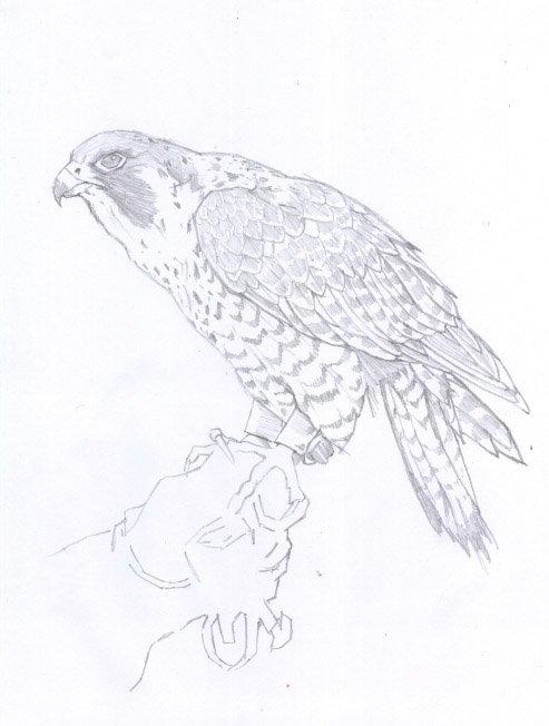 halconperegrino04.jpg