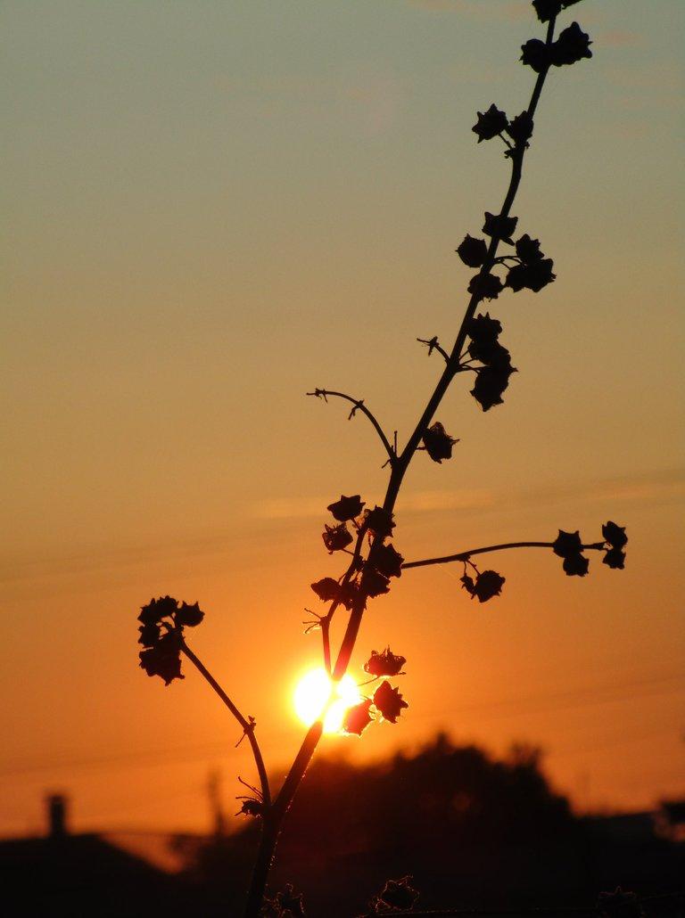 flores por do sol (1).jpg
