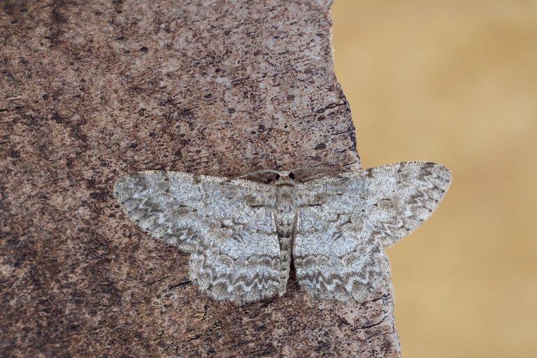 Aschgrauer Rindenspanner Hypomecis punctinalis_P1115971.jpg