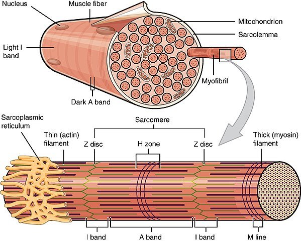 A skeletal muscle fiber is surrounded by a plasma membrane called the sarcolemma, which contains sarcoplasm, the cytoplasm of muscle cells. A muscle fiber is composed of many fibrils, which give the cell its striated appearance.