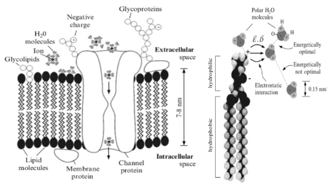 Left image shows membrane's ion channel also shows that membrane consists of lipid molecules and the right image is an illustration of lipid molecule