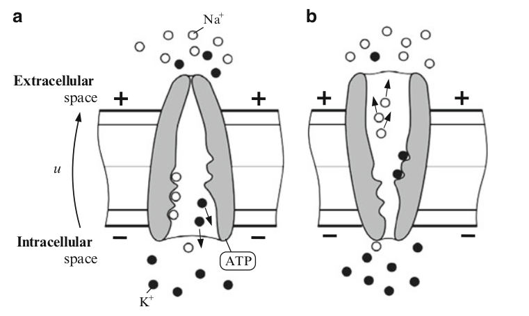 Active channel functions as a transporter, compared to passive channel this one is selective permeable (chooses which ions to flow in or out)